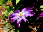 Clematis by Tony