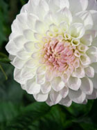 Dahlia by Candice